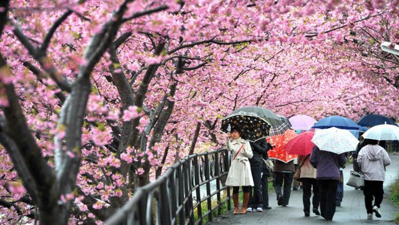 Mùa hoa anh đào Okinawa